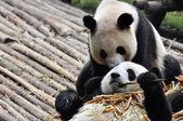 Love of Giant Panda — Stock Photo
