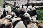 A Group of Giant Panda — Stock Photo