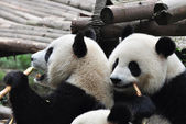 Two Giant Panda — Stock Photo