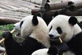 Two Giant Panda — Stock Photo