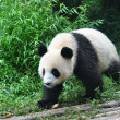 Walking Panda — Stock Photo