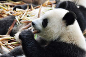 Panda Is Eating The Bamboo — Stock Photo