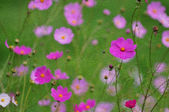 Cosmos flowers in the morning, digital oil painting. — Stock Photo