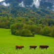 Постер, плакат: Herd of cows inside Switzerland