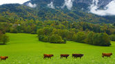Herd of cows inside Switzerland — Stock Photo