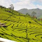 Tea Plantation — Stock Photo #8777501