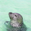Seal looking from water — Stock Photo