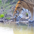 Amur tiger (Panthera tigris altaica) drinking water — Stock Photo