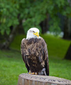 Sea ??eagle with white head standing — Stock fotografie