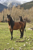 Two horses — Foto Stock
