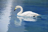 Whooper swan aquatic bird — Stock Photo