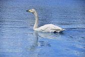 Whooper swan swimming — Stock Photo