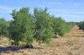 オリーブの木 — ストック写真
