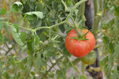 Tomato in the plant — Stock Photo
