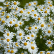 Camomile in tundra  — Stock Photo