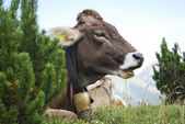 Cow With Cowbell — Stock Photo