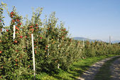 Apple Plantation — Stock Photo