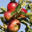 Ripe Apples — Stock Photo #15002279
