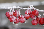Frozen red apples — Stock Photo
