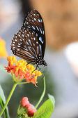 Tropische vlinder — Stockfoto