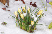 Crocus buds in the snow — Stock Photo