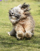 Running Tibetan Terrier Dog — Stock Photo