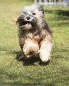 Kolejny pies Terier tybetański — Zdjęcie stockowe