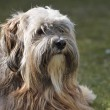 Tibetan Terrier Dog — Stockfoto