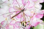 Crane Fly — Stock Photo