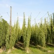 Stock Photo: Hop Garden