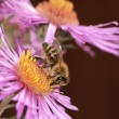 Aster Flower with Bee — Stock Photo
