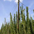 Hop Garden — Stock Photo