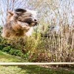Flying Tibetan Terrier Dog — Stock Photo #45641263