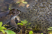 Frog Spawn — Stock Photo