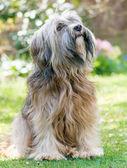 Pies mężczyzna Terier tybetański — Zdjęcie stockowe
