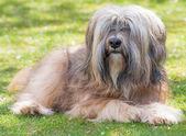 Male Tibetan Terrier Dog — Zdjęcie stockowe