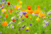 Flowering Summer Medow — Stock Photo