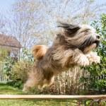 Tibetan Terrier Dog in Action — Stock Photo #47952035