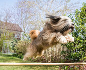 Tibetan Terrier Dog in Action — Zdjęcie stockowe