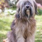 Male Tibetan Terrier Dog — Stock Photo #48850897