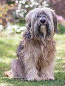 Male Tibetan Terrier Dog — Stock Photo