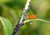 Biological Pest Control — Stock Photo