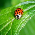 Ladybug — Stock Photo #50007895
