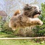 Flying Tibetan Terrier Dog — Stock Photo #50240785
