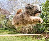 Flying Tibetan Terrier Dog — Zdjęcie stockowe