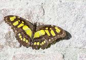Siproeta Stelenes Butterfly — Photo