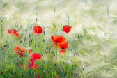 Poppies in a Corn Field — Stock Photo