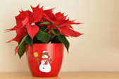 Poinsettia Poinsettia — Stock Photo