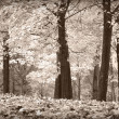 Autumn trees, black and white — Stock Photo #30456085