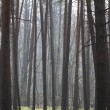 Pine forest in spring in the fog. — Stock Photo #14289745